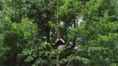 chengdu : One Lovely Giant Panda Bear Cub in the Tree in Chengdu Research Base of Giant Panda Breeding
