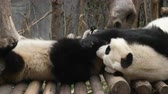 giant panda : Two Lovely Young Giant Panda Bear Playing together