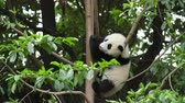 reus : panda beklimming van de boom Stockvideo
