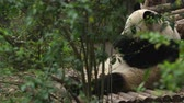 giant panda : lovely panda eating bamboo leaves
