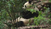 chengdu : panda eating bamboo leaves