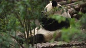 giant panda : panda eating bamboo leaves