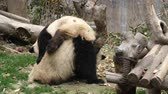 encantador : Close up of Two Lovely Young Giant Panda Bear Playing together