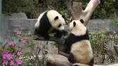 chengdu : Close up of Two Lovely Young Giant Panda Bear Playing together