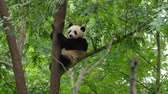 reus : panda op boom Stockvideo