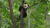 giant panda : lovely panda climbing the tree Stock Footage