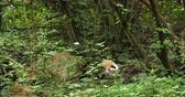 giant panda : One Giant panda bear lie in bush outdoor in SIchuan China,4k
