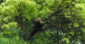 chengdu : One Giant panda bear relax sitting in the tree outdoor in SiChuan China,4k
