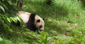 giant panda : One lovely baby panda bear walking out from trees in the zoo at Chengdu Research Base of Giant Panda Breeding, China,4k