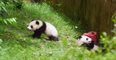 giant panda : Two baby panda bear cub playing on the grass in the zoo at Chengdu Research Base of Giant Panda Breeding, China,4k