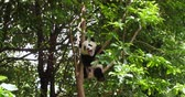 giant panda : One adorable Baby panda bear sitting relax in the tree and yawn ready to have nap in the wild woods, sichuan China, 4k