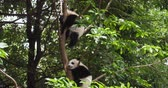 miś : Two lovely baby panda cub sleeping relax in the tree at Chengdu Research Base of Giant Panda Breeding, China,4k