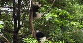 encantador : Two lovely baby panda cub sleeping relax in the tree at Chengdu Research Base of Giant Panda Breeding, China,4k