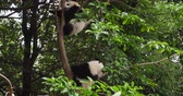 chengdu : Two lovely baby panda cub sleeping relax in the tree at Chengdu Research Base of Giant Panda Breeding, China,4k