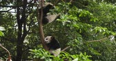 giant panda : Two lovely baby panda cub sleeping in the tree at Chengdu Research Base of Giant Panda Breeding, China,4k
