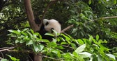 giant panda : One lovely baby panda cub relax playing in the tree at Chengdu Research Base of Giant Panda Breeding, China,4k