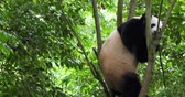 giant panda : One mature Giant panda bear playing in the tree outdoor in sichuan China, 4k