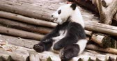 giant panda : One lovely baby Panda cub sitting and relax eating in Chengdu China,Chengdu Research Base of Giant Panda Breeding, 4k Stock Footage