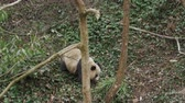 панда : One lovely young giant panda walking in the mountain woods outdoor at Sichuan China, wildlife 4k footage