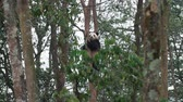 панда : One lovely young panda bear climbing down of the tree in the mountain woods outdoor at Sichuan China, wildlife 4k footage