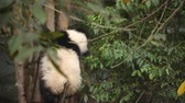 One Lovely Young Giant Panda Bear Cub in the Tree at Chengdu Research Base of Giant Panda Breeding Videos