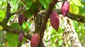 Cocoa tree with beautiful dark red pods, fresh, organic and healthy cocoa fruit in 4k