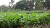 Watering Vegetable Garden in low angle, srisaket, Thailand