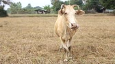 pole : Cow in the field with some ignore and shy acting, Srisaket, Thailand