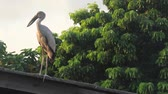 temas animais : Open-billed stork just land on the roof