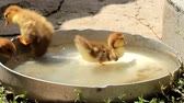 parent : little ducklings drink and swim Stock Footage