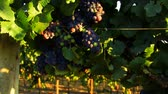 wijnbladeren : New Wine Grapes Close Up HD