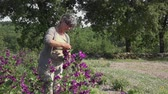 thyme : hand harvest of purple flowers one by one