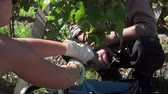 vinificação : harvesting of white grapes one by one using a secateur