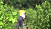 vinificação : manual harvesting to better select and protect fruits