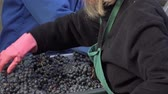 flavour : manual sorting of red grapes Stock Footage