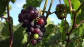 flavour : Red grape not matured Stock Footage