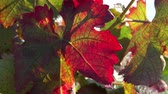 flavour : vine leaves in autumn colors Stock Footage