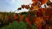 meal : Colorful grape leaves on the sun, season concept, Alsace, France Stock Footage