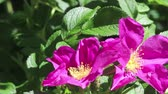 Флорес : Two purple flowers of dog-rose and bee on light breeze on green foliage background on light wind. Close-up. HD 1080p.