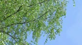 brzoza : Branch of birch tree with young green leaves and blue sky background on light wind. HD 1920x1080.