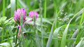 Флорес : Pink flowers of clover on light wind in sunny day on green grass background. Close-up. HD 1920x1080.