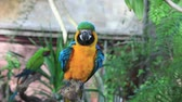 amerika papağanı : The Blue-and-yellow Macaw Ara ararauna, also he Blue-and-gold Macaw, is a large South American parrot with blue top parts and yellow under parts. It is a member of the Neotropical parrots macaws.