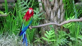 amerika papağanı : The Green-winged Macaw Ara chloropterus, also known as the Red-and-green Macaw, is a large mostly-red macaw of the Ara genus. Bali bird park, Indonesia. Stok Video