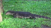 salvator : The water monitor Varanus salvator is a large lizard native to South Asia, Bali, Indonesia Stock Footage