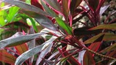 sister : Raindrops on tropical plant Cordyline Fruticosa Red Sister, Dreamland, Bali, Indonesia. Prores 422HQ. Stock Footage