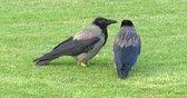 cornix : Couple of hooded crows corvus cornix sitting on the grass in beautiful Schonbrunn Palace park, Vienna, Austria.