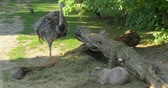 cornix : The greater rhea Rhea americana, nandu together with the capybara Hydrochoerus hydrochaeris and the hooded crow Corvus cornix also called hoodiecrow in Schonbrunn zoo, Vienna, Austria.