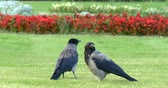 Couple of hooded crows corvus cornix sitting on the grass in beautiful Schonbrunn Palace park, Vienna, Austria.