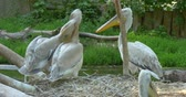 The Dalmatian pelican Pelecanus crispus is a massive member of the pelican family. It breeds from southeastern Europe to India and China in swamps and shallow lakes. Vídeos