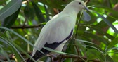 The pied imperial pigeon Ducula bicolor is a relatively large, pied species of pigeon. It is found in forest, woodland, mangrove, plantations and scrub in Southeast Asia. Vídeos